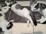 家养虎斑色加菲猫叁月小母陆百可小刀