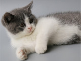 湖南长沙超肥蓝白幼猫出售