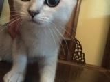 代友转发英短 渐层小猫,市区随时看猫