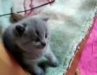 一只一个月大的小蓝猫