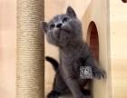 太原维尼猫舍出售纯种健康蓝猫 英国短毛猫大包子脸幼猫崽