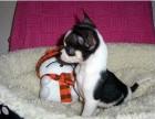 上海哪里有吉娃娃犬卖 上海吉娃娃犬价格 上海吉娃娃犬多少钱