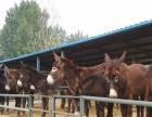 畜牧局直销波尔山羊小尾寒羊利木赞牛西门塔尔牛肉牛犊等免费运输