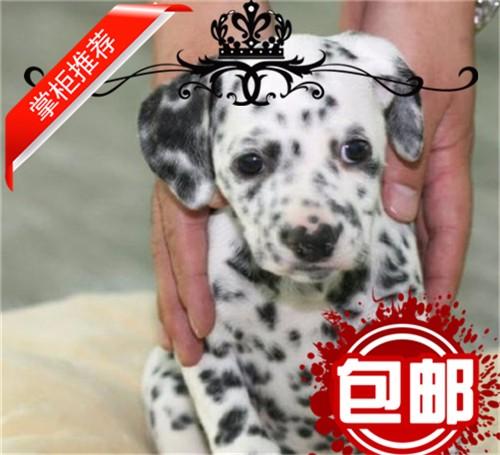 斑点狗犬舍出售高端斑点狗幼犬 保证纯种健康