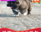 哪里有高加索犬出售多少钱,高加索犬的照片