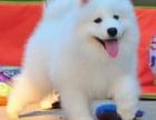 重庆里出售萨摩耶犬 重庆萨摩耶犬多少钱