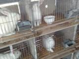 杂交野兔种兔养殖基地,肉兔养殖技术,长毛兔价格