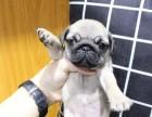 出售自家繁育的纯种健康巴哥幼犬,包健康纯种养活!