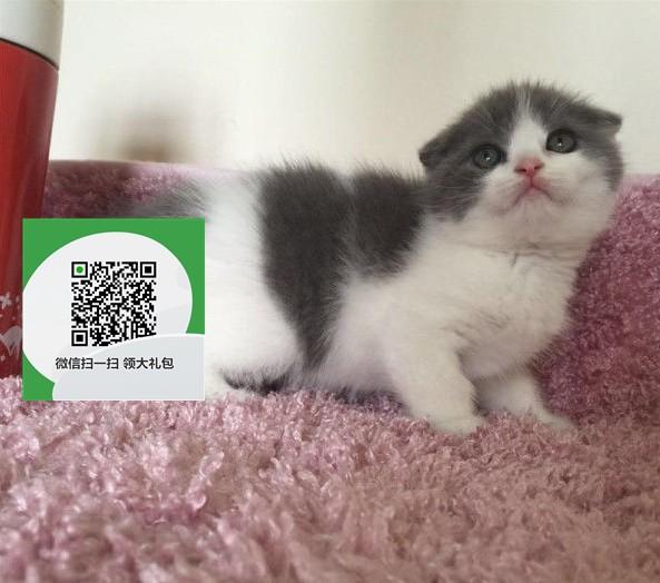 镇江哪里开猫舍卖折耳猫 去哪里可以买得到纯种折耳猫