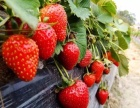 北京奶油草莓采摘园