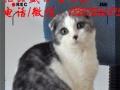 蓝猫 折耳猫 英国短毛猫 纯种英短猫 苏格兰折耳猫