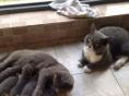 纯种英国短毛猫 1200元