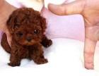 北京犬舍出售純種灰色巨型貴賓犬 貴婦幼犬活體灰泰