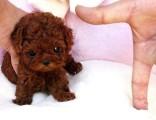 北京犬舍出售纯种灰色巨型贵宾犬 贵妇幼犬活体灰泰