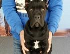 意大利猛犬卡斯罗犬 纯种赛级卡斯罗幼犬 健康质保