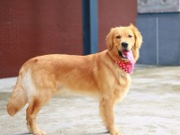 狗场出售纯种拉布拉多 金毛犬等多个品种 疫苗驱虫已做 保健康