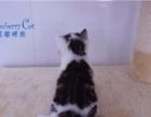 美国短毛猫银虎斑加白美短加白妹妹MM(深圳)
