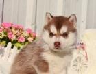基地出售纯种西伯利亚哈士奇幼犬**品相 健康质保