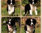 赛级品质边境幼犬 通围脖 七白到位 可上门可发空运