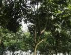 求购枫铃木,龙血树,兰花影,风景树,苗木