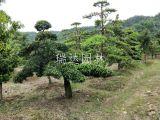 临水罗汉松盆景造型造型罗汉松 多少钱一棵