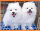 高品质博美犬出售 疫苗驱虫已做 保证血统健康