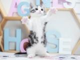 广州出售纯种幼猫低价