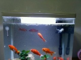 生态鱼缸风水锦鲤