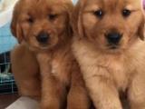 东莞 出售纯种金毛犬 狗狗出售 可签协议质保健康