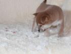台州本地犬舍出售精品柴犬包纯包健康