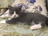 家养宠物两个多月小蓝短