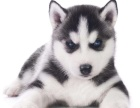哈士奇雪橇犬三个月疫苗齐全