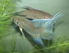 主要卖斗鱼越黑,普叉,蓝叉,3-4厘米~13-4厘米