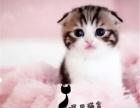 家养英短渐层 蓝白 蓝猫 美短 加菲 金吉拉