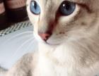 海虎暹罗猫寻新家