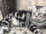 自己家养保证健康美短小猫找新家