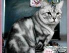 赛级美短虎斑美短加白 家庭猫舍繁殖