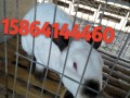漳州大型种兔繁育基地招加盟商,包技术,包运输,包回收