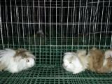 广州钟俊荷兰猪养殖场