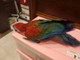 转让一只手养红绿金刚鹦鹉幼鸟 刚断奶 好饲养