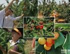 太平镇摘樱桃 枇杷 自助烧烤 柴火鸡 垂钓( 强园山庄)