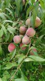 青州蜜桃价格-供应山东销量佳的青州蜜桃
