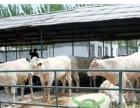 西门塔尔夏洛莱利木赞牛犊肉牛犊架子牛育肥牛免费运输