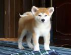 cku注册五星级犬舍 双血统秋田犬可上门挑选