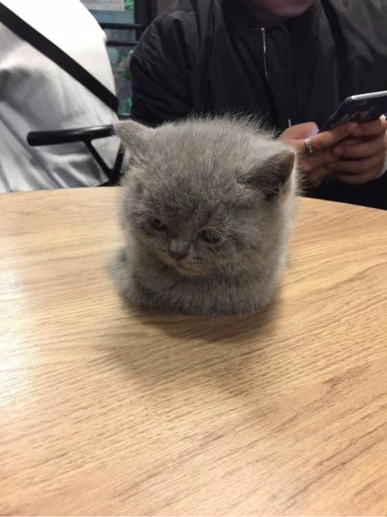 个人家繁殖纯血统高品质蓝猫弟弟妹妹 可以随时来家看猫