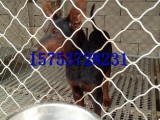 三个月莱州红幼犬多少钱,哪里出售莱州红,成年莱州红价格