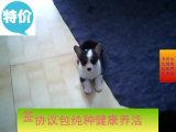 威尔士级柯基幼犬两色 三色均有 品相好 健康有