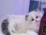 重庆秀山双血统仙女猫猫舍直销