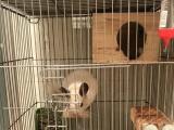 转让龙猫一对一标灰母一银斑公