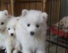 可爱的银狐犬幼犬是很雪白 小狗可带回家去啦